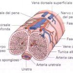 L'erezione del pene: cos'è e come funziona